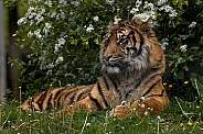 Sumatran Tiger Lying In Grass