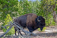 Bison emerging from the Woods