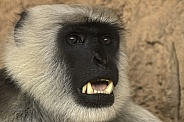 Hanuman Langur Face Shot Teeth Showing