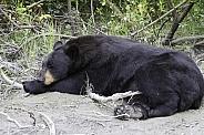 Black Bear Sleeping