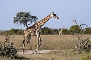 Giraffe walking - Savuti - Botswana