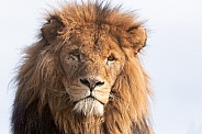 Male African Lion Close Up Face Shot