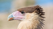 Crested Caracara Portrait