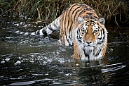 Amur tiger in the water