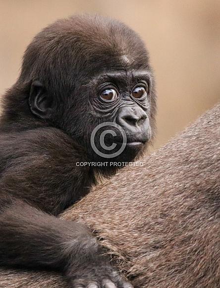 Baby Western Lowland Gorilla
