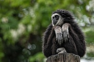 Lar Gibbon With Wet Fur Sitting Down