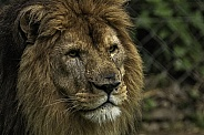 African Lion Male Lion Close Up