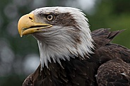 Bald Eagle Close Up Head Shot