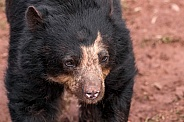 Andean Bear Walking Close Up