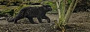 Black Amur Leopard Cub