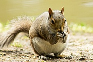 Grey Squirrel - Nibbles