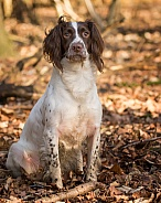 Working Springer Spaniel