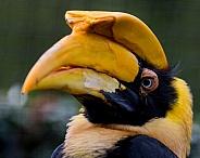Giant Hornbill