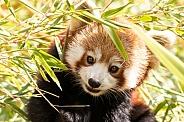 Red Panda Hiding In Bamboo