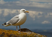 Herring Gull Perched