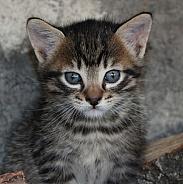 Shorthair Domestic Kitten