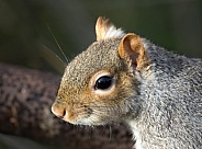 Grey Squirrel face