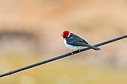 Red Capped Cardinal