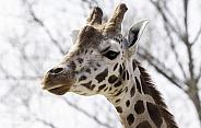 Rothchild's Giraffe Head Shot Side Profile