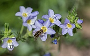 Hoverfly, Flower Fly, or Syrphid Fly on Jacob's Ladder