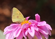 Butterfly On Pink Dahlia Flower