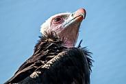 White head vulture