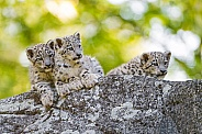 Three Snow Leopard Cubs
