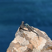 Black Girdled Lizard and Southern Rock Agama