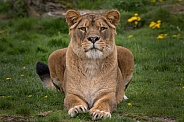 African Lioness (Panthera Leo)