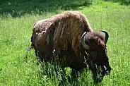 North American Plains Bison