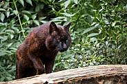 Swamp lynx