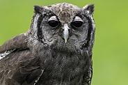 Milky Eagle Owl Close Up