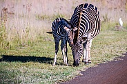Burchells Zebra mother and foal