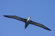 Waved Albatross in flight - Galapagos Islands - Ecuador