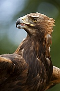 Golden Eagle - Scottish Highlands