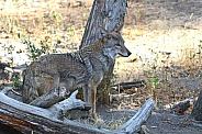 Coyote (wild)