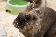 Lion Head rabbit