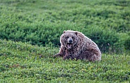 Grizzly Bear. Denail National Park