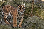 Sumatran Tiger Cub On Rocks