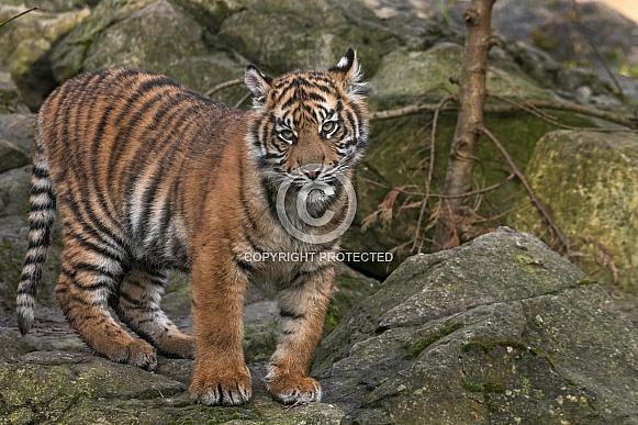 Sumatran Tiger Cub On Rocks
