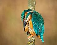Preening Kingfisher