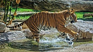 Tiger Splashes through a Stream