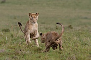 Lion cubs play fighting 2