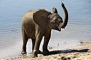 Baby African Elephant - Botswana