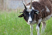 Young Jacob Sheep Ram