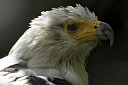 African Fish Eagle Head Shot