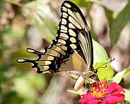 Giant Swallowtail feeding on Zinnia flower