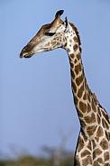 Giraffe (Giraffa camelopardlis) - Botswana