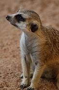 Meerkats Up Close