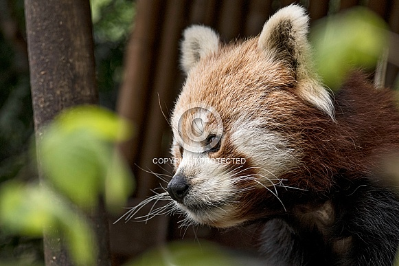 Red Panda Face Shot Looking From Right